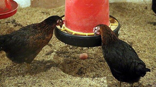 Yerli tavuk yılda 314 yumurta veriyor