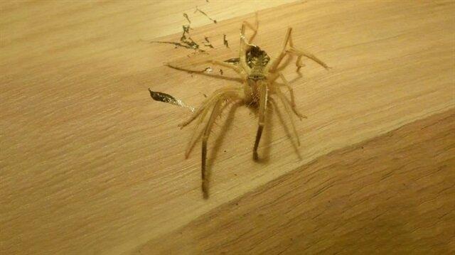 Akrep sandığı örümcek 'Sarı Kız' çıkınca evi terk etti
