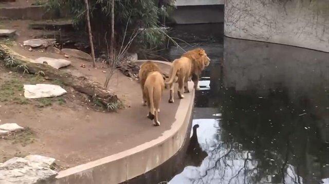 Ziyaretçilere bakarken suya düşen aslan