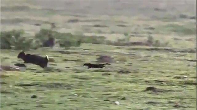 Tavşan avlayan gelincik