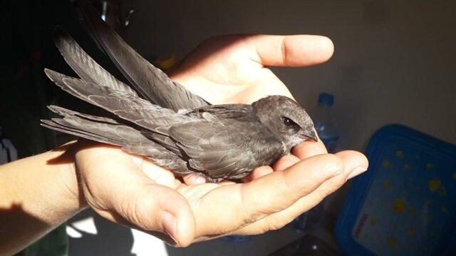 Karabük'te Ebabil Kuşu bulundu