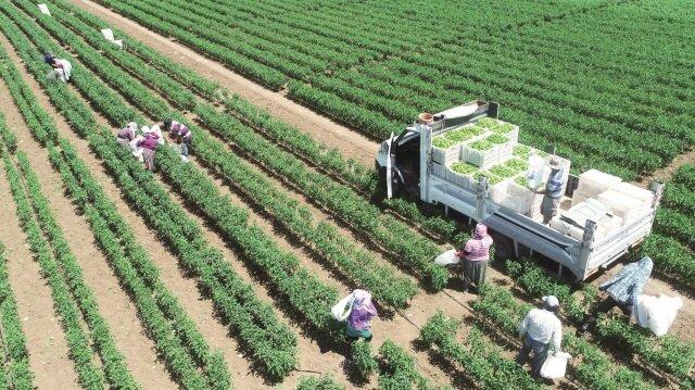 Yenişehir'de üretilen biber çeşitleri Avrupa'ya ihraç ediliyor