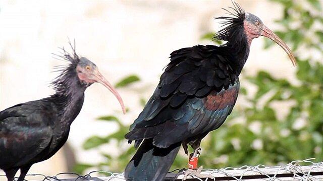 طيور مهددة بالانقراض تحظى برعاية خاصة من بلدية تركية