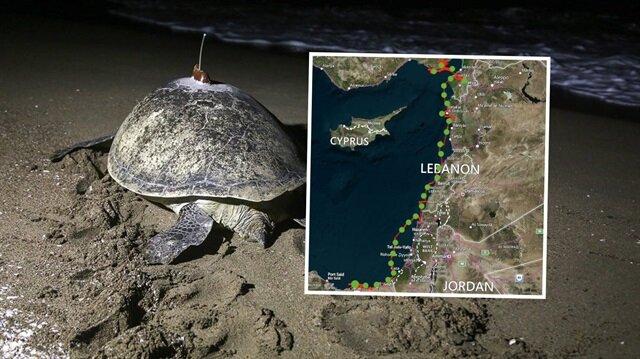 Vericiyle izlenen kaplumbağa 48 günde Adana'dan Mısır'a gitti