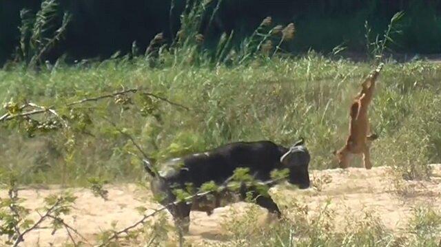 Bufalo boynuzuyla aslanı havaya uçurdu