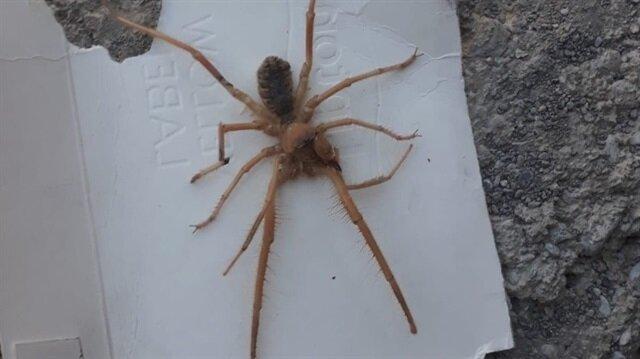 Sarıkız örümceği