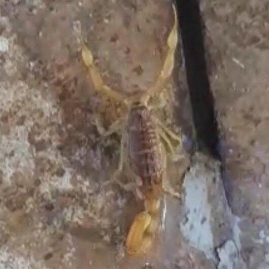 Gaziantep'te görüntülendi: En zehirli akrep türlerinden