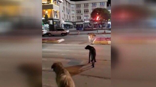 Sokak köpeklerinden trafik kuralları dersi