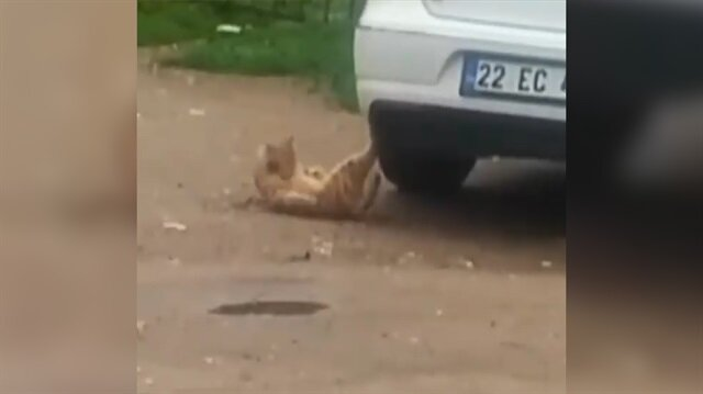 Mekik çeken kedi kahkahaya boğdu