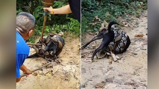 Köpeği devasa pitonun hışmından böyle kurtardılar