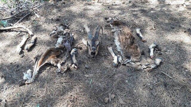 Ekiplerin yaptığı arazi aramasında 2 yaban keçisinin parçalanmış uzuvlarına rastlandı.