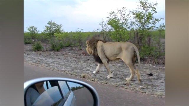Takip edilmesine sinirlenen aslan sürücünün aklını aldı