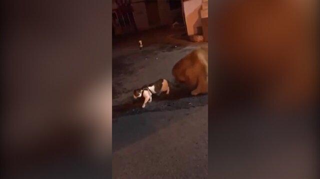 Kediyi kavgadan çekip alan köpek kahkahaya boğdu