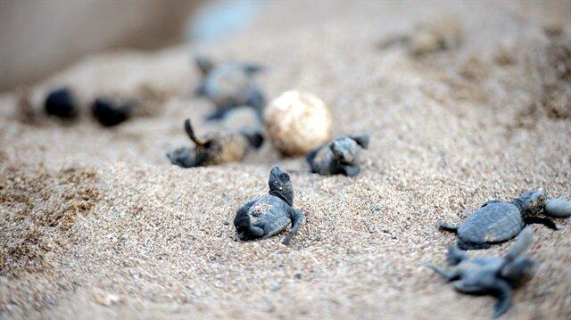 Caretta carettalar denizle buluştu