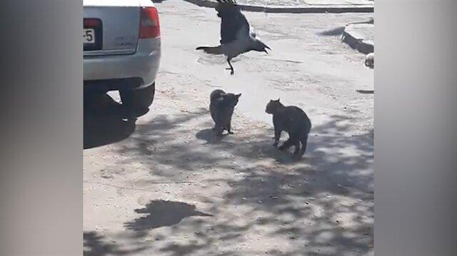 Kedilerin kavgasını ayırmaya çalışan ara bulucu karga