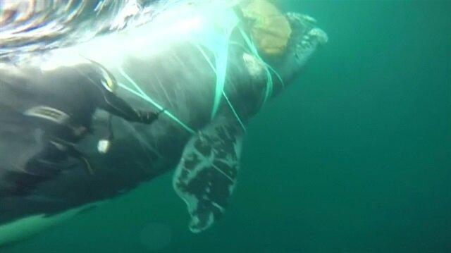 Ağlara takılan dev balina böyle kurtarıldı