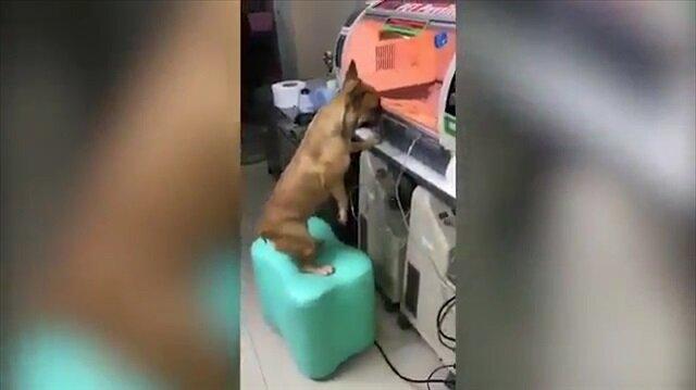 Prematüre doğan yavrusunu pür dikkat izleyen anne köpek