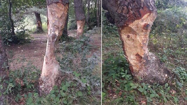 Ağaçların, çıra için oyulması tepki çekti.