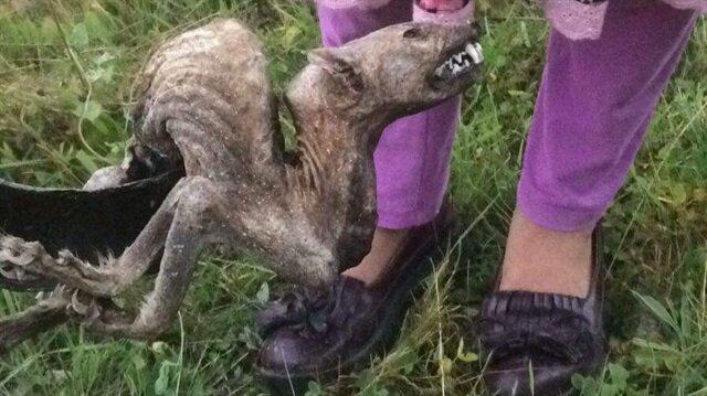 Artvin'de bulunan hayvan ölüsü sansar çıktı.