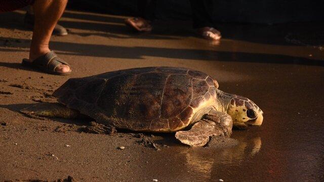 Yuvalardan yeni çıkan yavru kaplumbağalardan bazıları da bölgedeki tatilcilerin görmesi için denize bırakıldı.
