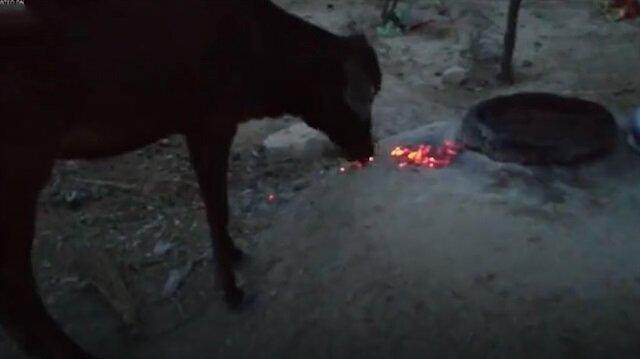 Aç kalan ineğin yedikleri izleyenleri şoke ediyor