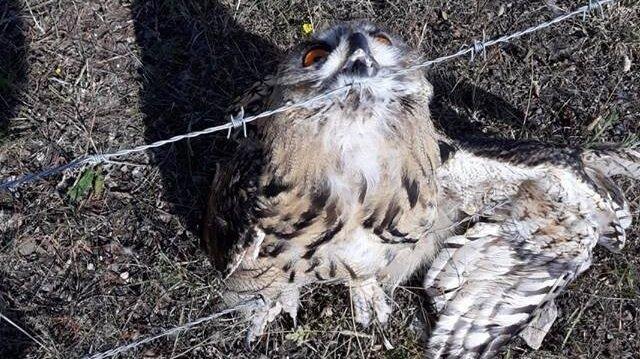 Sarıkamış'ta tel örgüye sıkışan puhu kurtarıldı