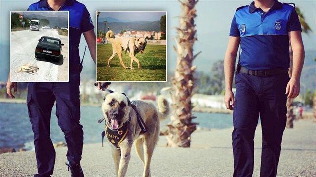 Muğla'da aracın arkasından sürüklenen köpek 'turizm zabıtası' olarak belediye ekipleriyle göreve başladı.