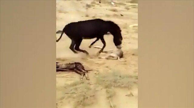Yavrusunu öldüren kurdu yerden yere vuran eşek