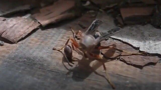 Kopan kafasını alıp havalanan eşek arısı izleyenleri şoke ediyor