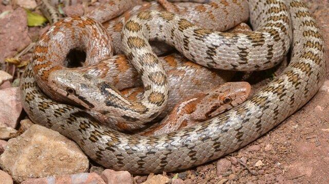 Kafkas yılanının yeni bir alt türü bulundu.