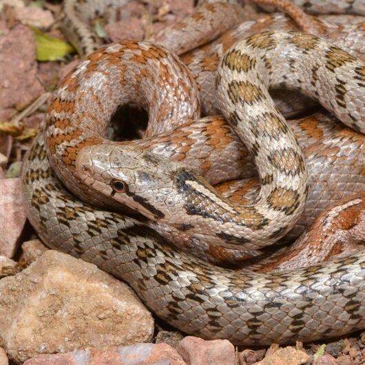 Türkiye'de yeni bir yılan türü bulundu