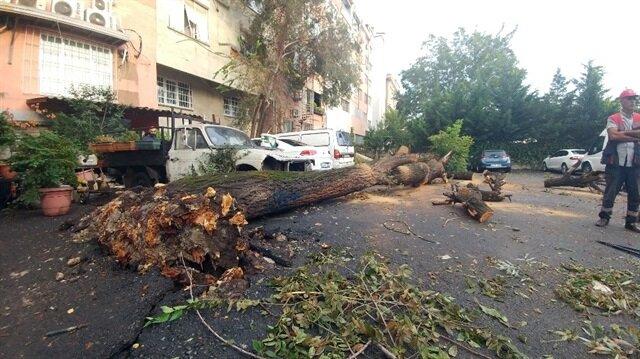 Şiddetli yağış yarım asırlık ağacı yerinden söktü
