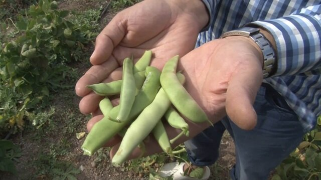 8 kilogram ata tohumuyla 2 ton fasulye elde etti