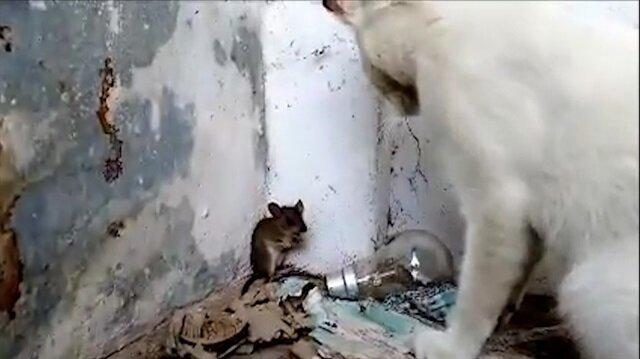 Yalvaran fareyi affeden kedi izlenme rekorları kırıyor