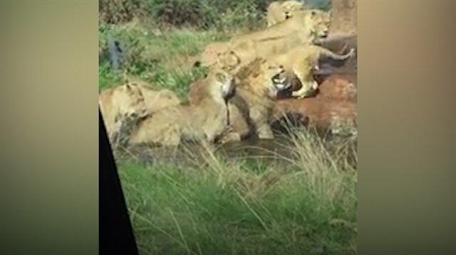 Dişi aslanların sürü lideri aslanı öldürme girişimi