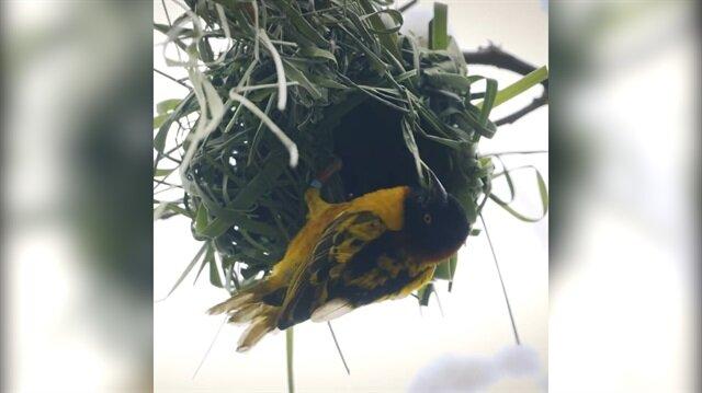 Dokumacı kuşun muazzam yuva yapma yeteneği