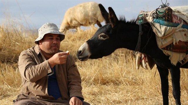 Ali Uğurlu, 2014'te Ulukışla Belediye Başkanı seçilmesine rağmen büyük bir tutkuyla bağlandığı çobanlıktan vazgeçmiyor.