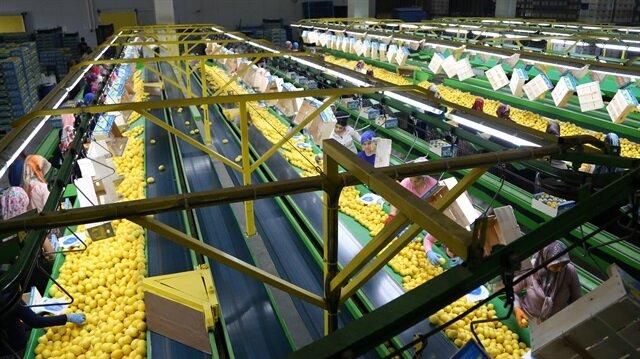 Türkiye'deki yaş meyve ve sebze ihracatının şu anda yüzde 50'ye varan kısmını turunçgiller oluşturuyor.