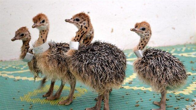 eve kuşları ilkbaharda yumurtlamaya başlıyor ve sonbahara kadar yumurtlamaya devam ediyor.