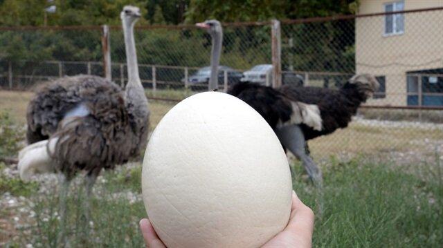 Deve kuşları ilkbaharda yumurtlamaya başlıyor ve sonbahara kadar yumurtlamaya devam ediyor.