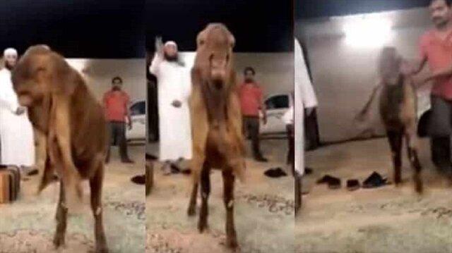 بالفيديو: تيس يصل سعره إلى 230 ألف ريال بحفر الباطن