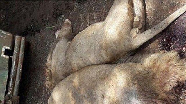 العثور على 11 أسدا ميتا في غابة هندية