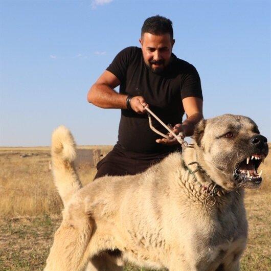 İtalyanlar kurt saldırılarına karşı Kangal köpeği istiyor