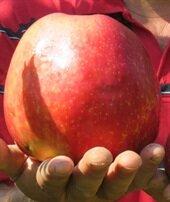 Bu elma 1 kilo 105 gram