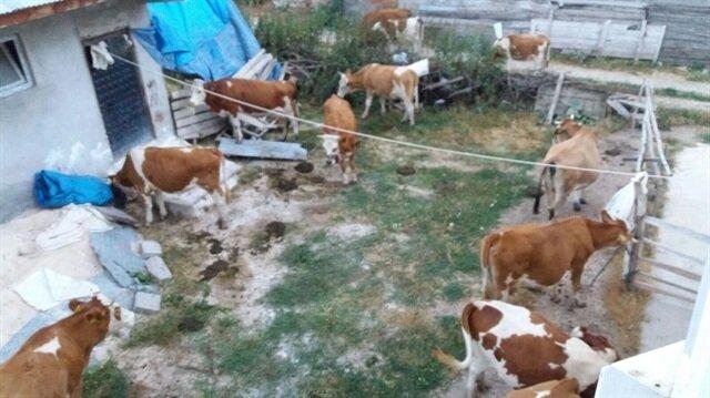 Piyasa değeri yaklaşık 120 bin lira olan 9 adet inek çalındı.
