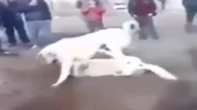 Köpekleri dövüştürüp çocuklara izlettirdiler!
