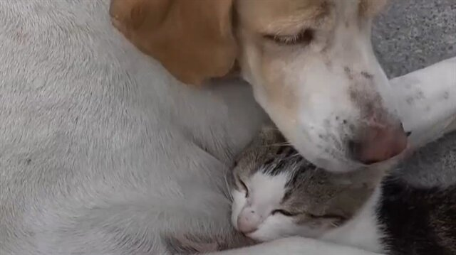 Sokak köpeği kedi yavrusuna annelik yapıyor