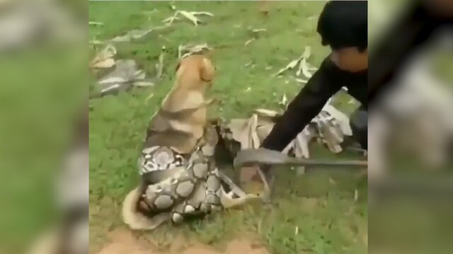 Pitonun boğmak üzere olduğu köpeği çocuklar kurtardı