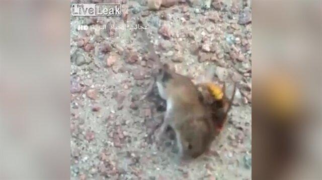 Eşek arısı ve farenin ölümcül kavgası