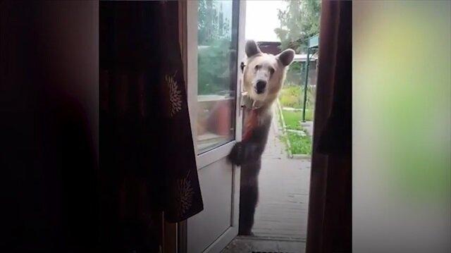 Gezmek isteyen ayı kapıyı açıp sahibini çağırıyor